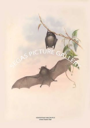 VESPERTILIO MACROPUS - Great-Footed Bat